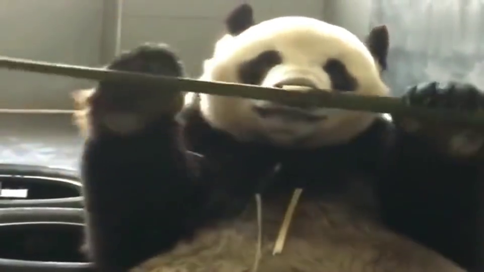熊猫金虎:你要下班了吗,本熊给你表演个节目