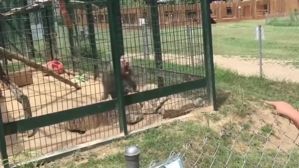 """小女孩挑衅狒狒,却遭到狒狒""""致命一击"""",镜头记录全过程"""