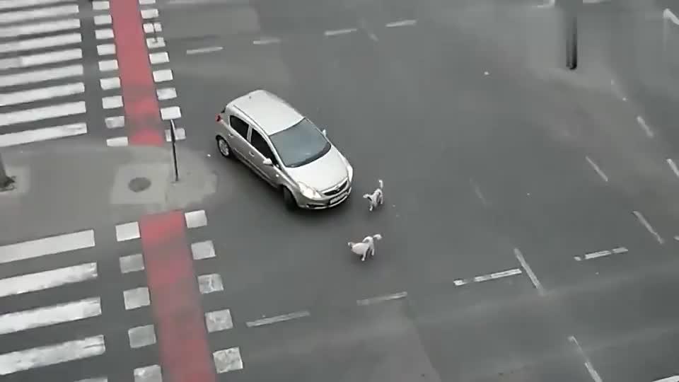 被两只狗围攻,这轿车司机到底怎么招惹它们了?