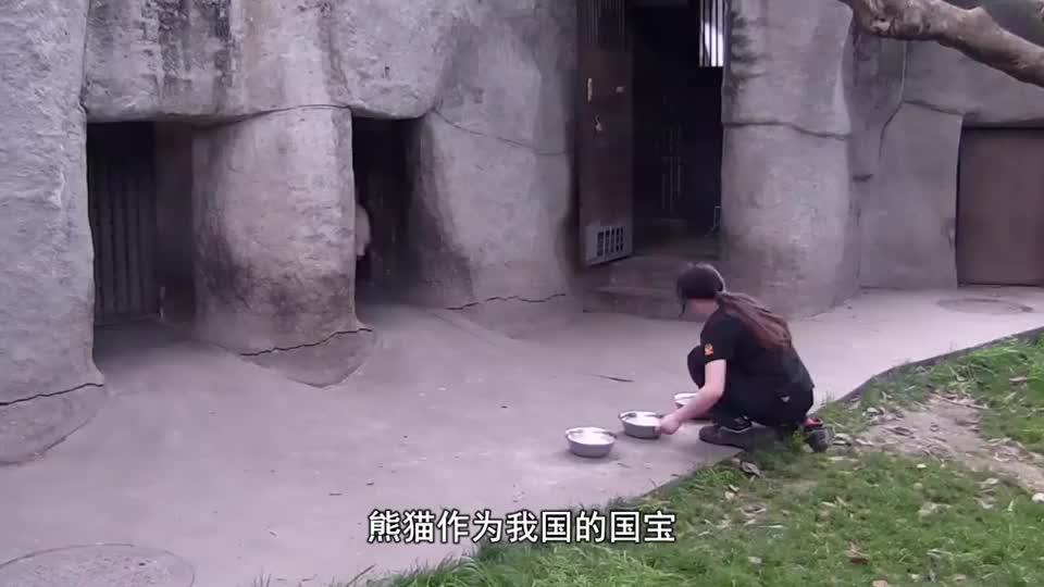 熊猫吃竹子吃得正香,突然被一根竹笋砸中,这反应也太Q弹了