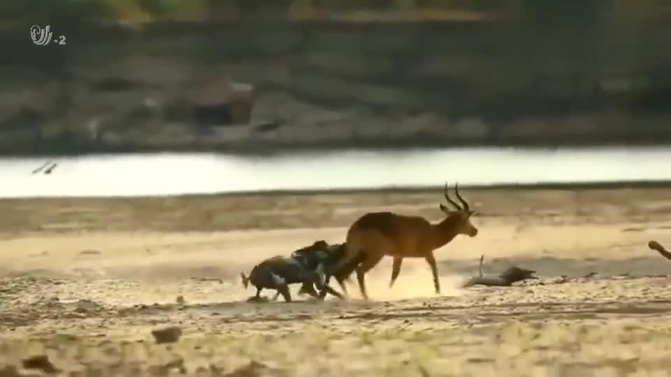 遭遇野犬群围攻的黑斑羚,竟站着不动任其掏肛,无助的样子真可怜