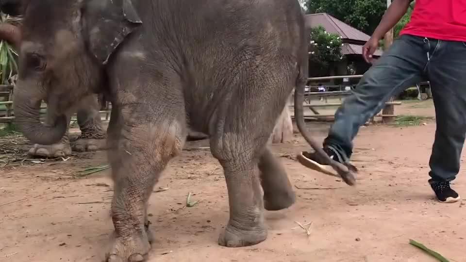 小象打不过饲养员,跑回去找妈妈哭鼻子,小象:不讲武德!