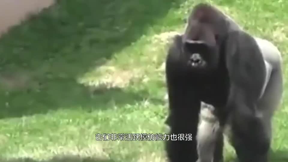熊孩子隔着玻璃挑衅猩猩,结果大猩猩发飙,一拳到玻璃墙上