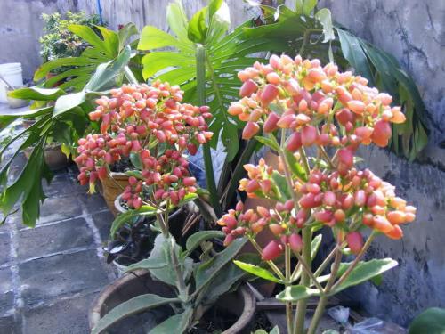 2种盆栽别在家里养,掉个叶子都泛滥,只怕花盆不够用