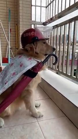 狗子一心想去外面,可惜天快要下雨了,只能在阳台看看风景了!