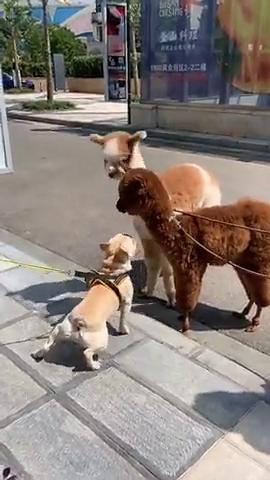 当羊驼遇见狗狗,这胆子也太小了,也不怕挨揍!