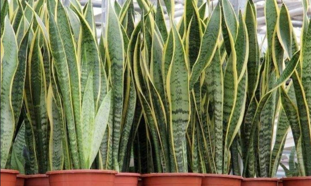 虎皮兰出现2种情况时,需要及时进行分株,植株才能长势更茂盛