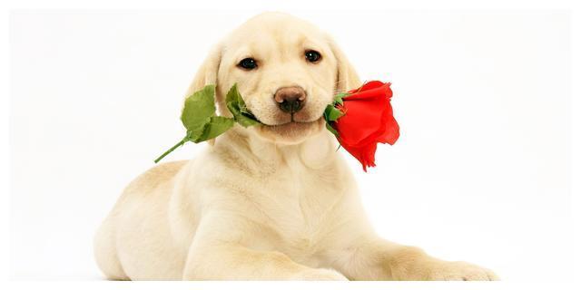12生肖之属狗人命运及婚配解析,想上上婚的都进来,早知道早受益