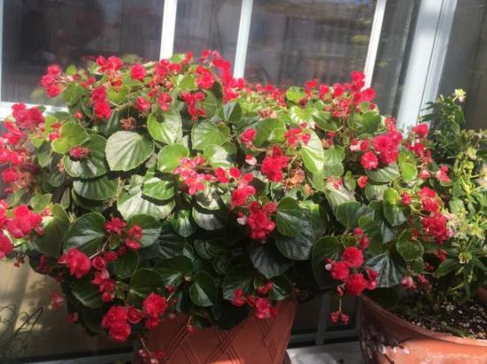 7、8月培育四季海棠,花盆放高1点,透水、透气,1周发芽
