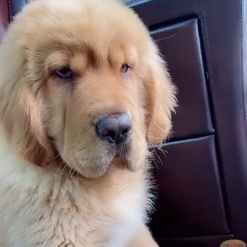 这金毛长得有点苦恼,那皱纹,估计是每天思考狗生的时间太长了!