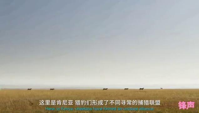 速度加力量加战术还有团结协作,五猎豹联盟成功猎杀强壮的牛羚