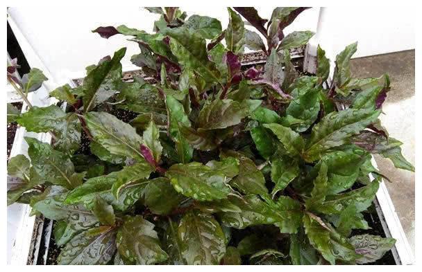 """阳台种盆""""补血菜"""",比绿萝还好看,掐把叶子炒菜吃,好吃营养高"""