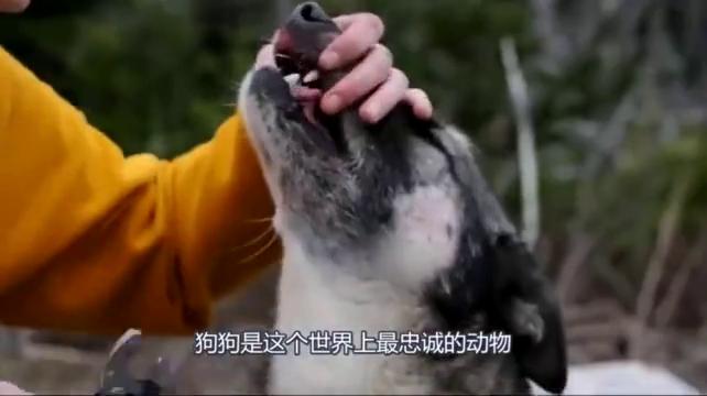 狗狗竟然跑去追豪猪,结果刺扎在嘴里痛不欲生,主人边拔边心疼!