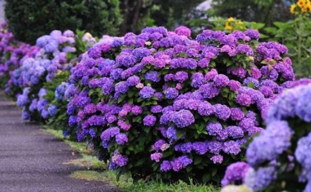 8月修剪绣球花,牢记3个原则,花芽分化多,深秋蹭蹭冒花苞