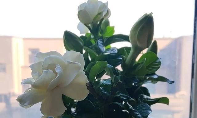 盆栽栀子花,常灌一种肥水,根不烂叶不黄苞不掉,蹭蹭开花