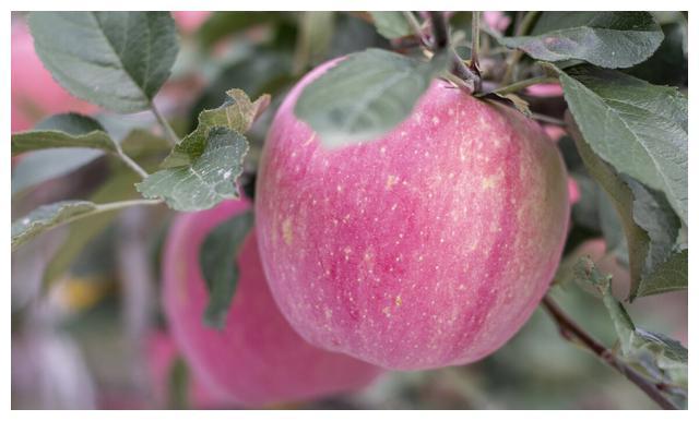 """中国人的""""国民苹果""""红富士,想吃地道的脆甜,还得要到黄土高原"""