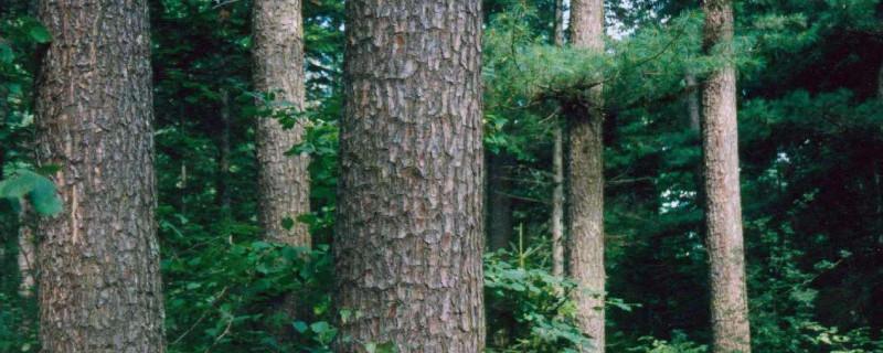 母树林和种子园有什么区别?考拉园艺网带你了解母树林和种子园