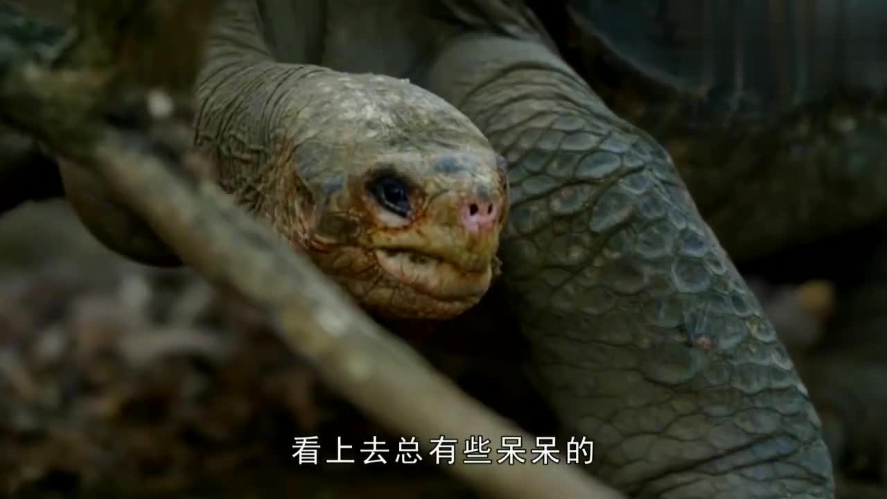 乌龟去偷吃蛇蛋,不料被蟒蛇抓个正着,场面失控了