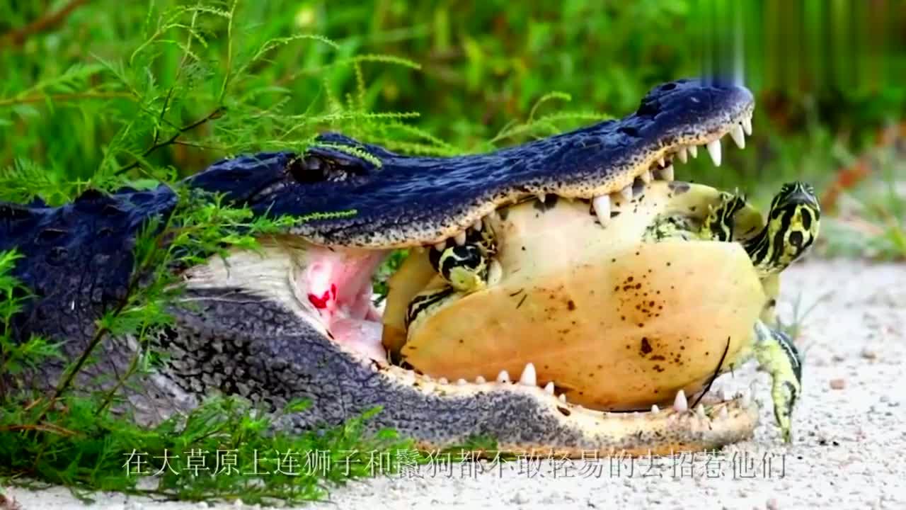 乌龟遇见了平头哥算是倒了八辈子血霉,再硬的壳都没用了