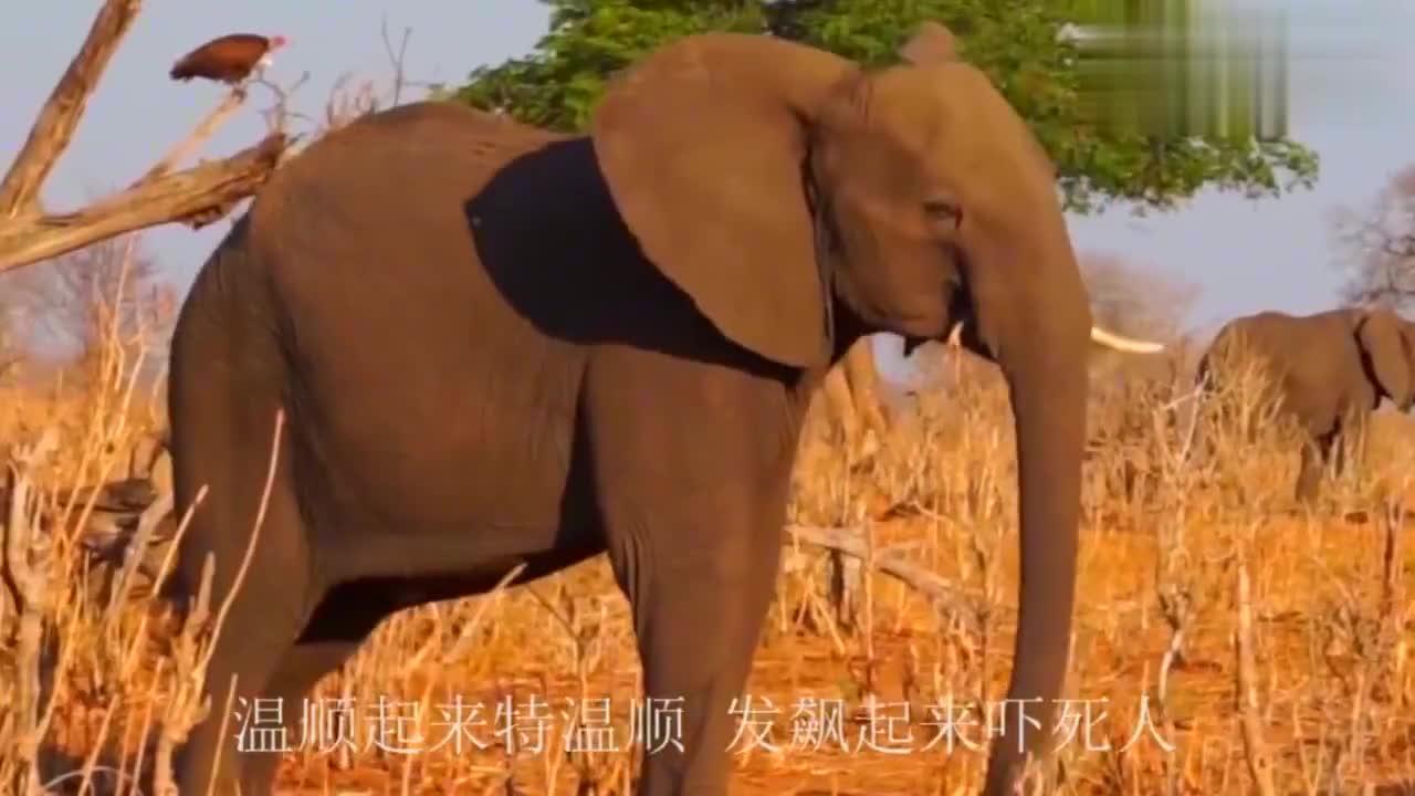 作死狮子猎杀小象,3吨大象妈怒不可遏血战狮子,这下狮子闯祸了