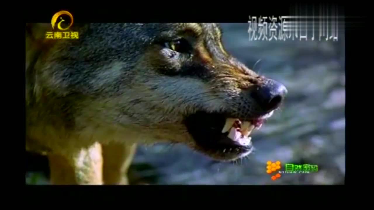 孤狼深入狼群,它遭到同类的围殴,但却赢得了其中一头母狼的芳心