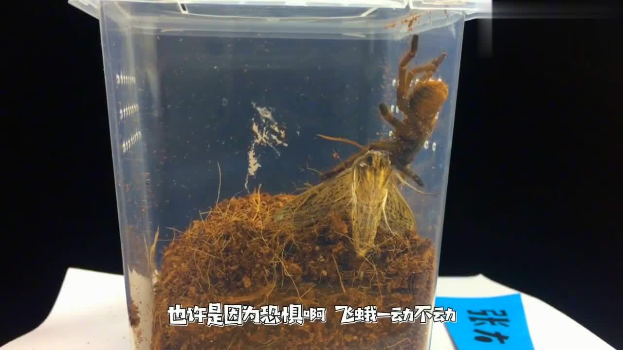捕鸟蛛真可以捕捉飞禽吗?先来看看没有蛛丝,能不能捕捉到飞蛾