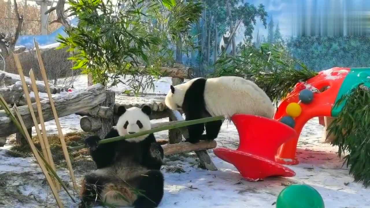 大熊猫七喜&七巧:吃大竹竿的汽水妹被姐姐吓到了,平复一下继续