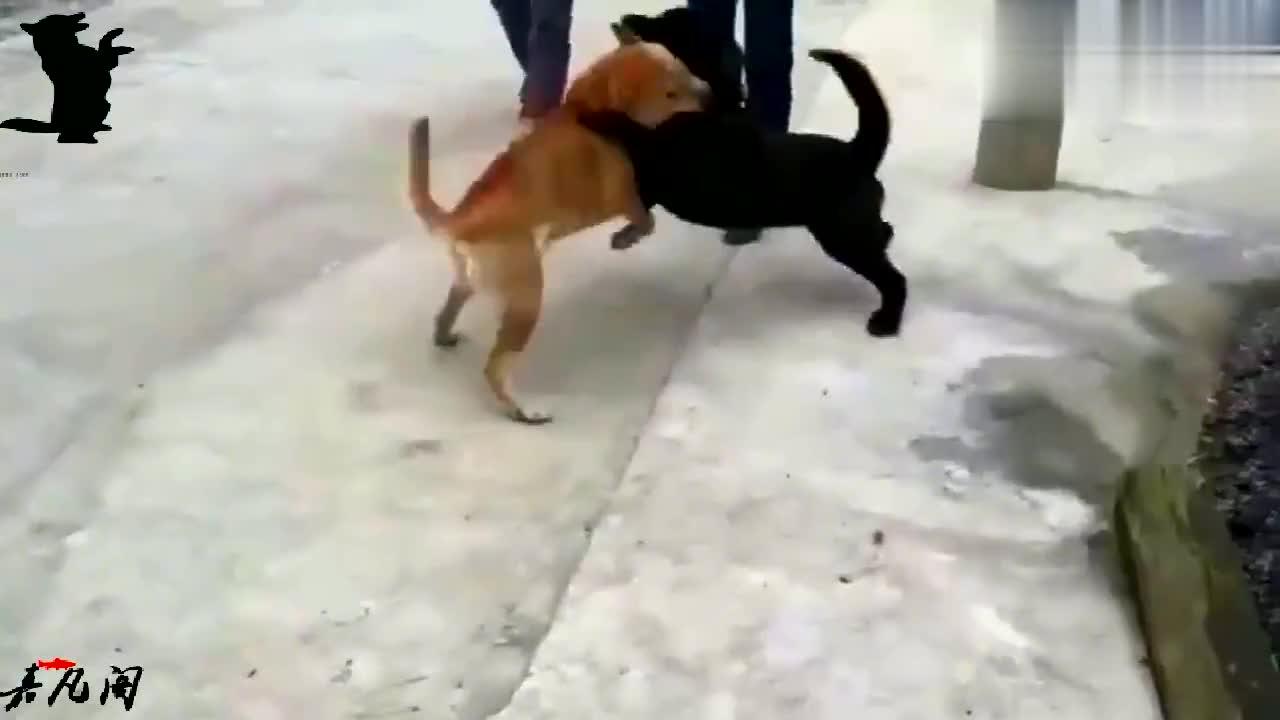 民间斗狗土狗旺财竟然打败了比特串串,这只土狗也太厉害了