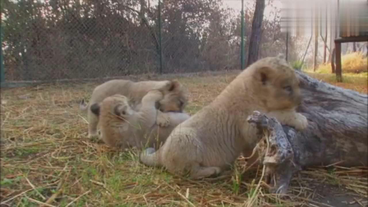 每隔几个小时,幼狮就会做一件大事,这就是喝奶