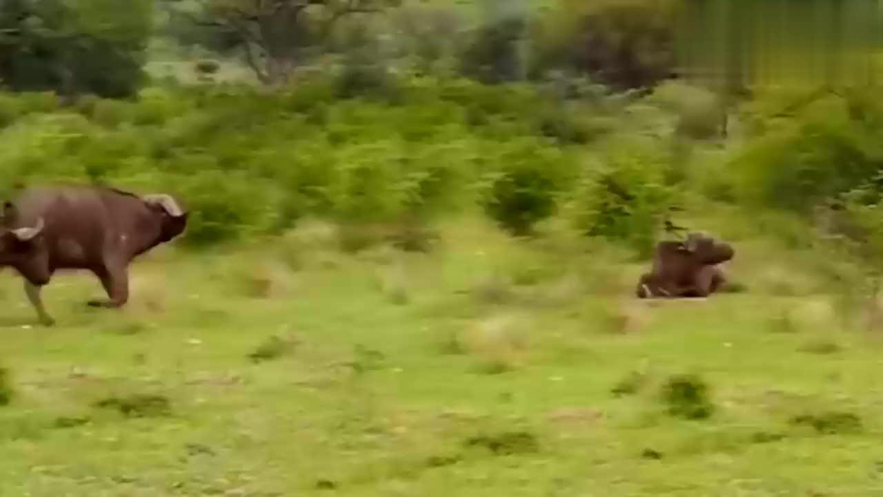 狮子咬死小牛崽,野牛与狮子不共戴天之仇,野牛怒怼狮子