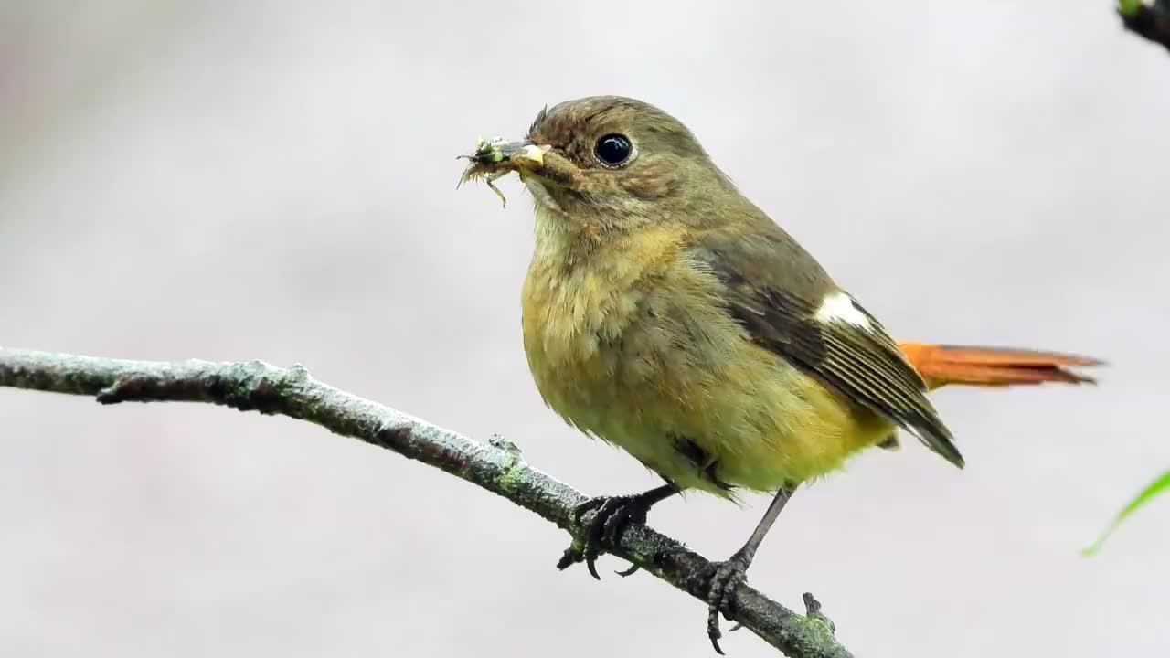 漂亮的北红尾鸲母鸟,嘴里含了一嘴虫子,知道它含虫子干嘛吗