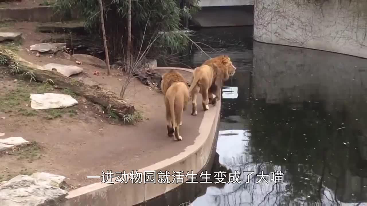 母狮控制不住野性,纵身一跃扑向游客,结果会怎样呢?