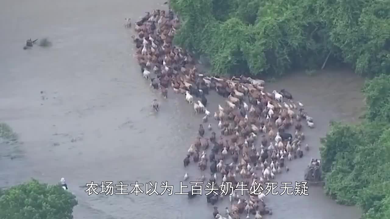 """牧场遭遇洪灾,上百头奶牛居然安全撤离,救灾""""英雄""""却是它们!"""