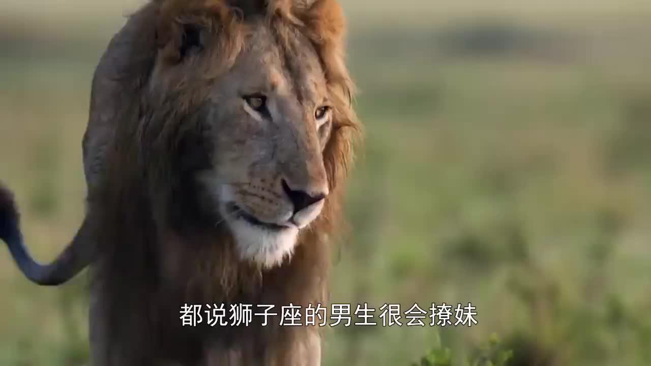 母狮捕猎角马颗粒无收,这时雄狮出现,网友:撩妹高手