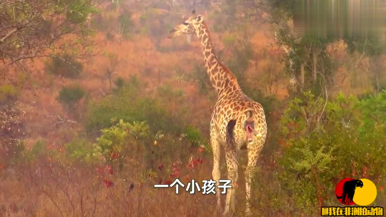 母长颈鹿在野外分娩,宝宝从出生到落地,它的安全着实让人担心