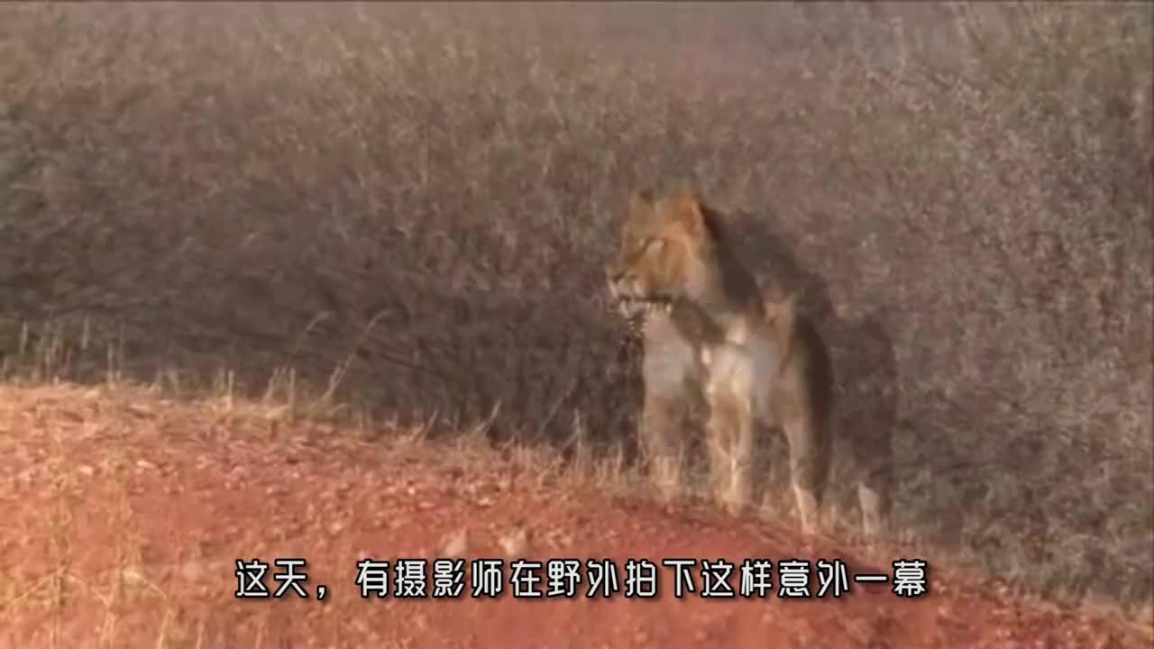 """母狮叼着猎物走在路上,将镜头拉近一看,才发现这""""猎物""""不简单"""