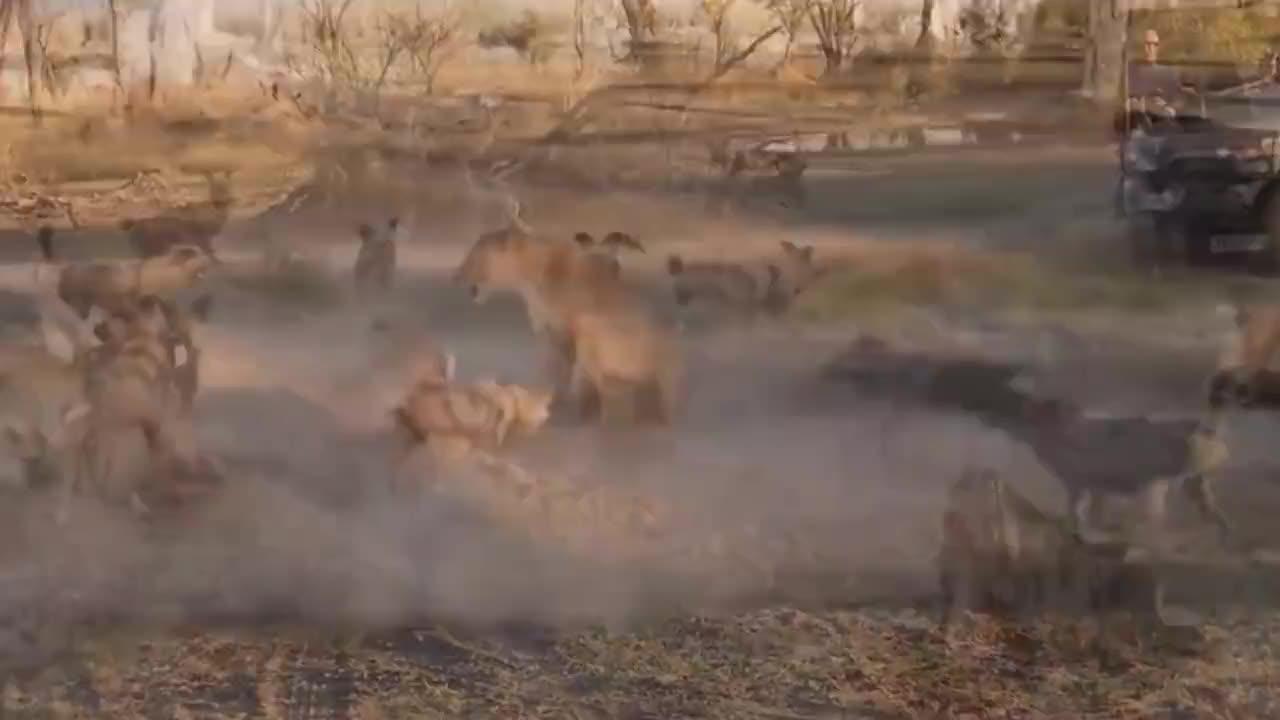 母狮和孩子被野狗包围,母狮霸气护犊子,和野狗展开惨烈大战