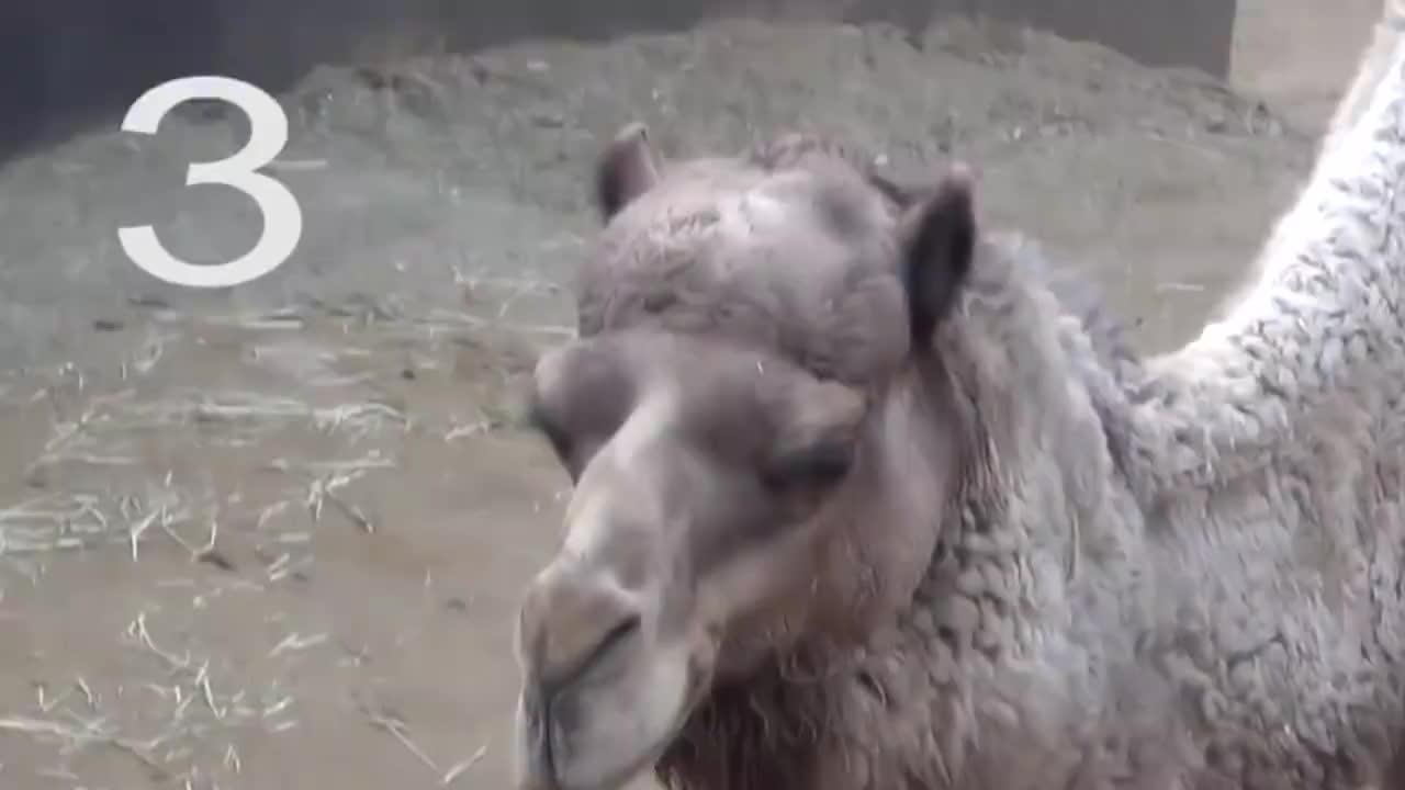 """男子观察骆驼吃仙人掌,突然从嘴里蹦出一个""""肉球"""",不正经!"""