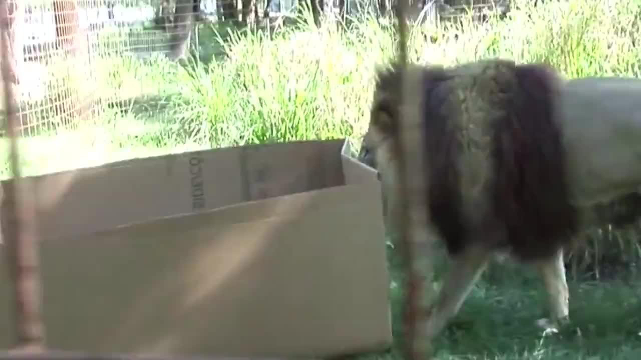 萌翻!大猫也喜欢玩盒子