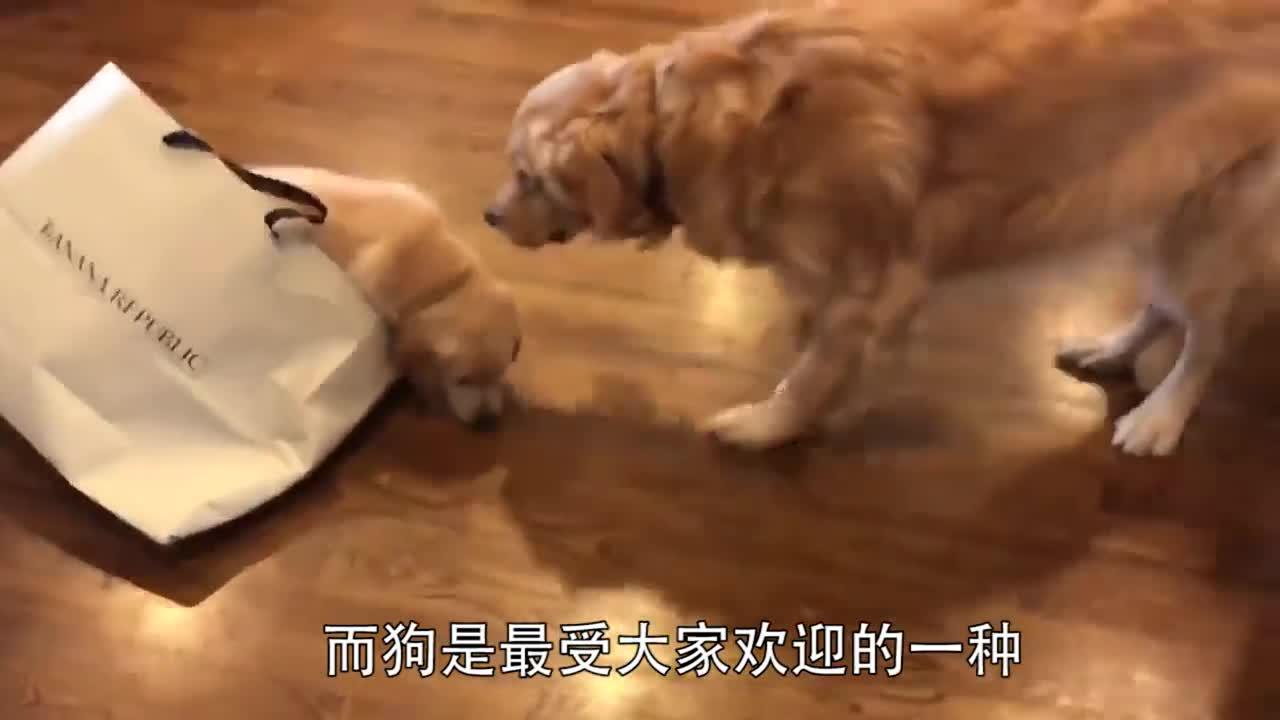 主人假装晕倒,狗的反应太大了,镜头记录感人一幕