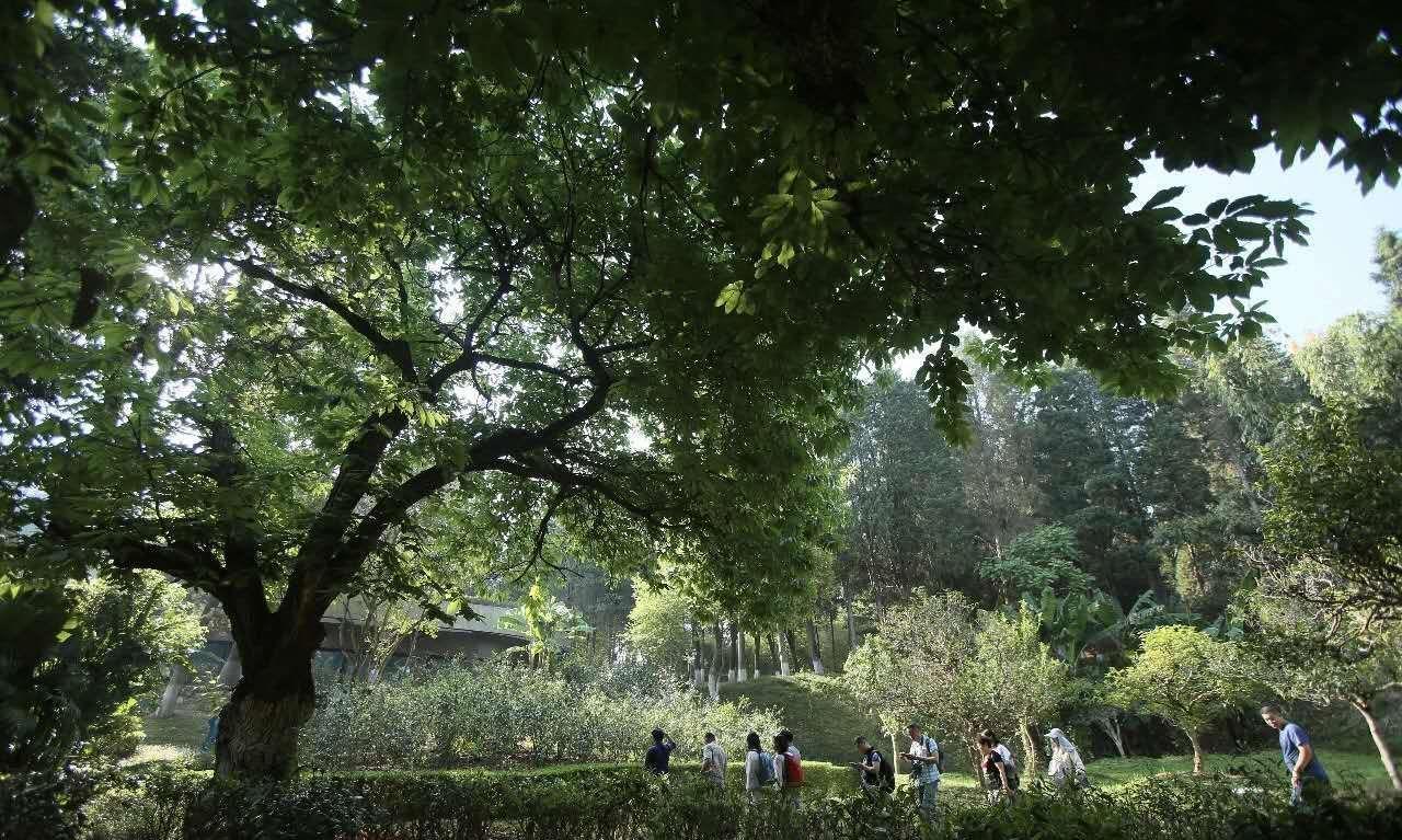 云南景迈山的老寨子,少数民族传统方式进行着,头春古树茶采摘了