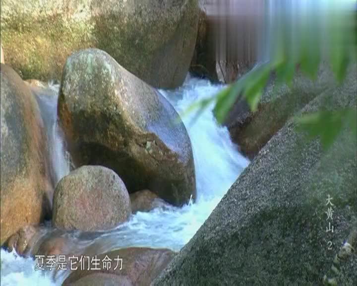 喜欢潮湿,专吃害虫,黄山林间小溪里的生灵石蛙