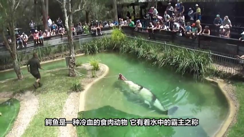 老虎偶遇3米巨鳄,现场死一般沉寂,鳄鱼:确认眼神,不敢动