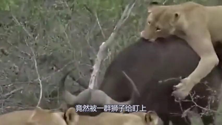 狮子咬的水牛皮开肉绽,生死关头水牛发飙,顶的狮子叫爷爷!