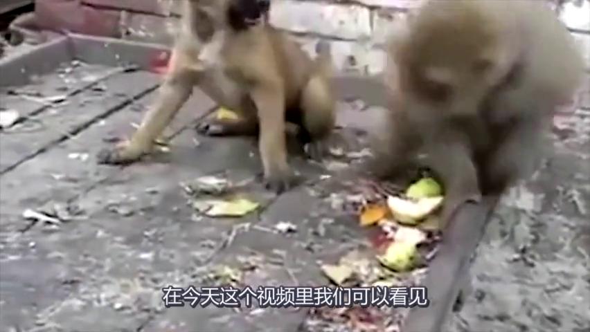 泼猴不停挑逗狗子,脾气顿时上来了,狗子:跳墙咬你