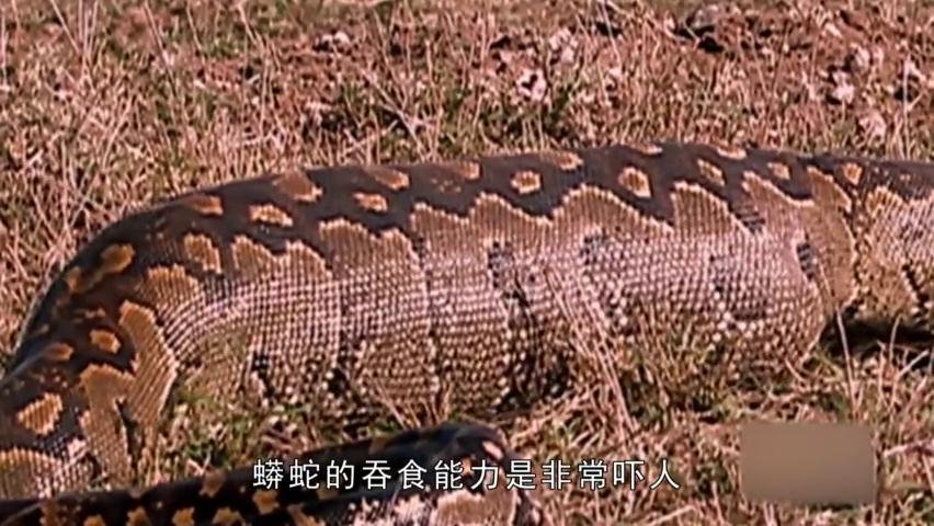 顶级的猎食者,科莫多巨蜥一口整吞掉一只大猴子:比蟒蛇还差点