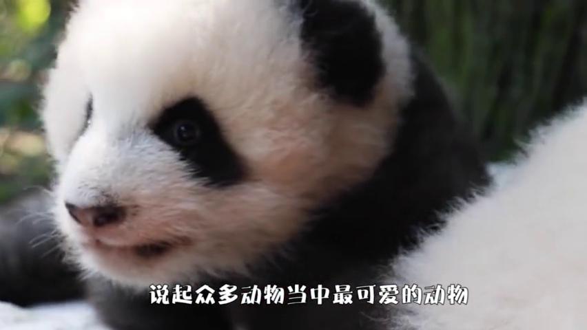 调皮小熊猫把同伴当枕头,同伴立马不乐意了,结局可以笑上一天