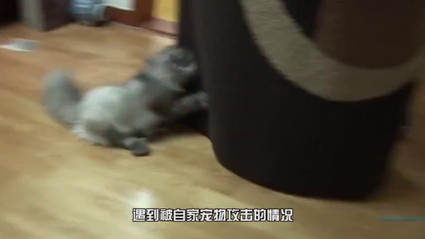 虎猫疯狂撕咬主人,原因为何,摄像头记录一切