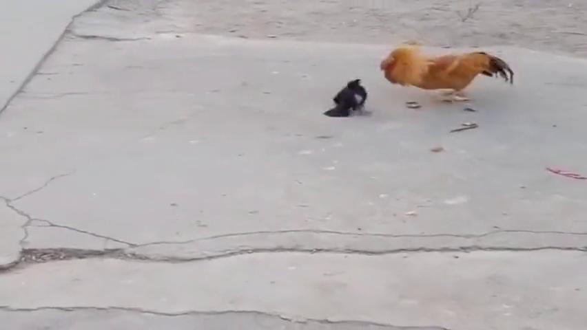 乌鸦侵犯了主人的庭院,公鸡怒了,正在和乌鸦厮杀!