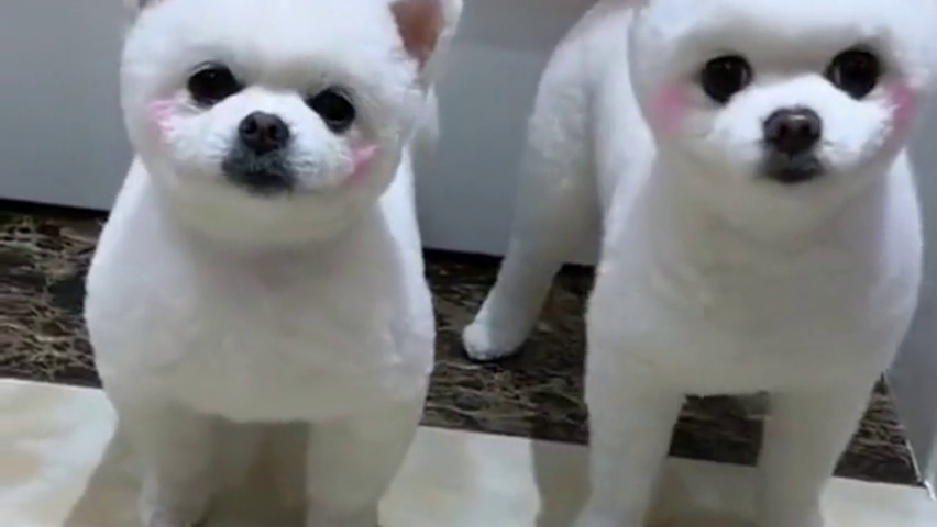 小狗狗真可爱,白里透红的小脸蛋,看完也想养两只了!